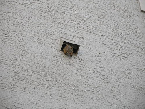 Squirrel in the Dryer Vent