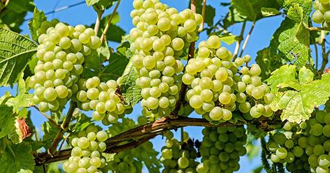 grapes 476 x 249